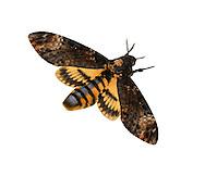 Death's-head Hawkmoth - Acherontia atropos