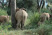 Kenya, Samburu National Reserve, Kenya, Herd of African Elephant with baby. Mature elephant rubbing against a tree