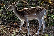 Deer at Bradgate Park