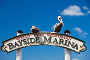 Brown Pelicans at Bayside Marina, Islamorada, Florida Keys, USA