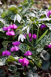 Galanthus 'Atkinsii'  with Cyclamen coum and Arum italicum