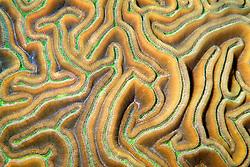 grooved brain coral, .Diploria labyrinthiformis, .Charlie's Reef, .Cayman Brac (Caribbean)