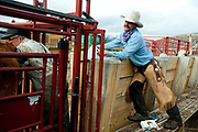PRICE CHAMBERS / NEWS&GUIDE<br /> Veternarian Ken Griggs checks each calf for pregnancy as Chase Lockhart keeps a record of the inspection on weening day at Lockhart Cattle Company.