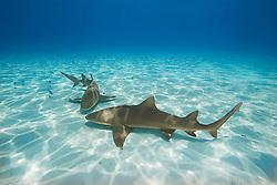 lemon sharks, Negaprion brevirostris, Grand Bahama, Bahamas, Atlantic Ocean
