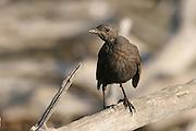 Blackbird, Common Blackbird or Eurasian Blackbird (Turdus merula) Israel Summer August 2008