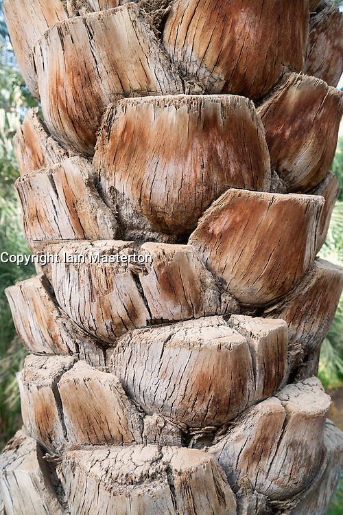 Detail of date palm tree at Oasis in Al Ain United Arab Emirates