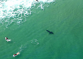 Great White shark swimming 'close enough for surfers