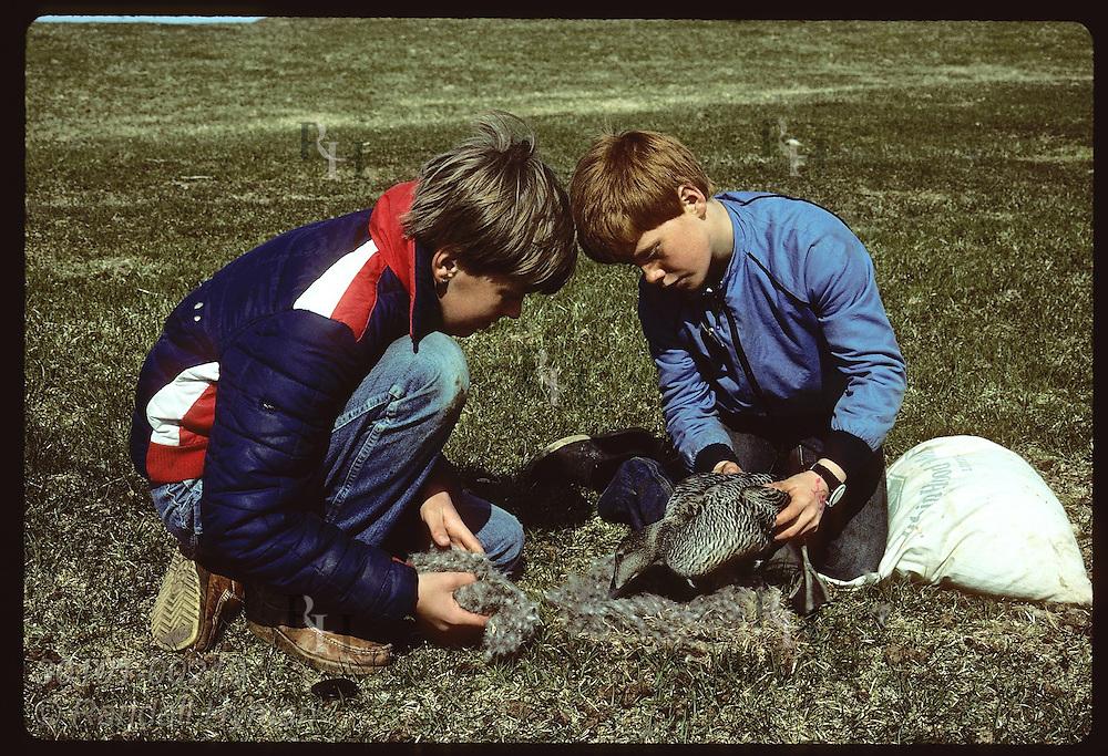 Boy harvests surplus down from nest as friend gently lifts eider duck away; Vigur Island in June. Iceland