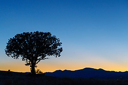 Lone juniper tree at dusk, Ladder Ranch, west of Truth or Consequences, New Mexico, USA.