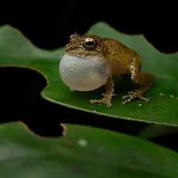 Bush frog (Pseudophilautus sp.). Sinharaja National Park, Sri Lanka.