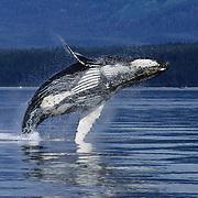 Humpback Whale adult breaching. Alaska
