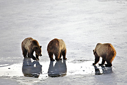 Foraging two year old grizzly bear cubs in Grand Teton National Park cast a reflection in puddle of water on the melting ice of the Oxbow Bend.
