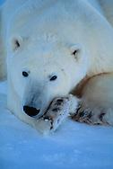 Polar Bear, Ursus maritimus, Churchill, Canada