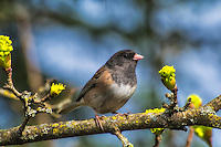 """This pale male dark-eyed junco (Junco hyemalis oreganus) is one of six subspecies of this relative of New World sparrows found throughout the Pacific Northwest. Sometimes referred to as the Oregon Junco, these birds have a noticeably dark """"hood"""" or head compared to others of the same species found across North America. This one was photographed<br />  just south of Seattle, Washington."""