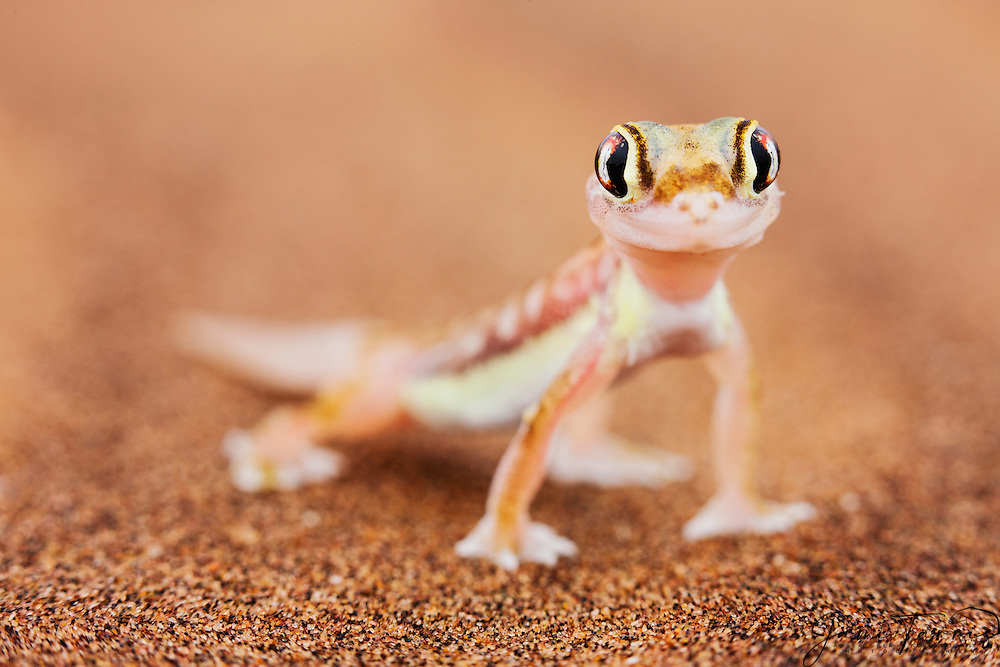 A close-up of a webfooted gecko (Pachydactylus range ) in the desert,, Skeleton Coast, Namibia,Africa