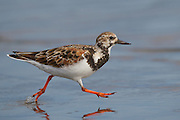 Stock photo of ruddy turnstone captured at Anastasia State Park in Florida. These small birds are very active, often probing  and flipping over small stones along the shore.