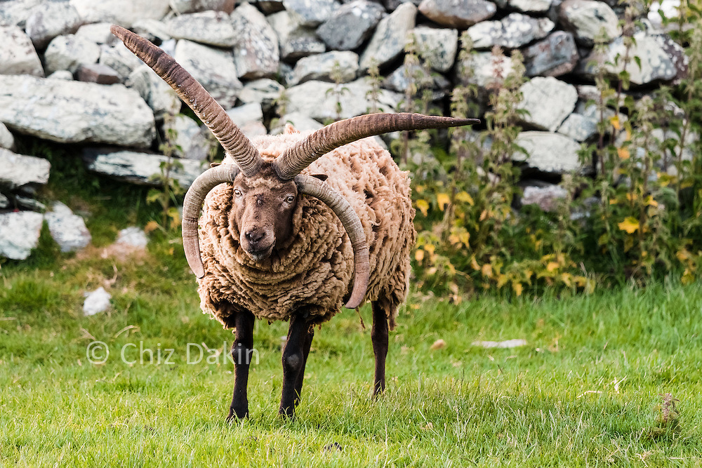 Manx Loaghtan - a rare breed of sheep endemic to the Isle of Man