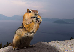 August 8, 2017 - Crater Lake National Park, Oregon, U.S - A chipmunk forages for snacks along the rim of the caldera at Crater Lake National Park as smoke from nearby wildfires partially obscures the view. A large fire is burning in the park just west of the crater. Hot and dry conditions have made for a very active wildfire season in Oregon and much of the western United States. (Credit Image: © Robin Loznak via ZUMA Wire)