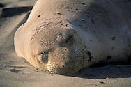 Elephant seal asleep on sandy beach haul out at Piedras Blancas, near San Simeon, California