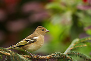 Profile of a female chaffinch perched on a pine branch near a feeder.
