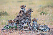 A mother sitting with four cheetah cubs (Acinonyx jubatus) laying together in the Masai Mara, Kenya