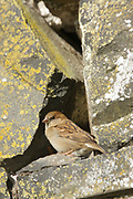 House sparrow, Passer domesticus, female by nest site in stone wall, Inverness-shire, Highland. <br /> bird; birds; sparrows; bright, sunny; urban; walls;<br /> one; single; alone; lone; look; looking; watch; watching;<br /> animal; animals; wildlife; nature; perch; perche