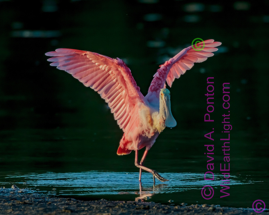 Roseate spoonbill steps in the shallows with wings raised, catching a spot of late sun, Florida, © David A. Ponton