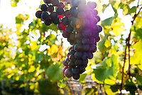 The red wine grape pinot noir is harvested at Symphony Vineyards, a family-owned winery on the Saanich Penninsula on Vancouver Island, BC.