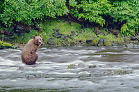 Time exposure of a Coastal Brown Bear sitting in a salmon river at Pavlof Harbor on Chichagof Island, Southeast Alaska.