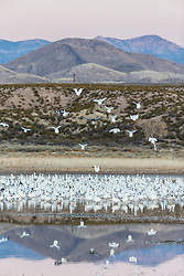 Snow geese in pond in early morning light, Bosque del Apache, National Wildlife Refuge, New Mexico, USA.