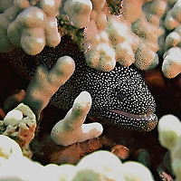 Whitemouth Moray, Gymnothorax meleagris, (Shaw & Nodder, 1795), Maui, Hawaii