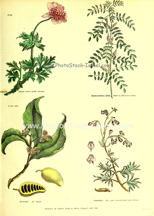 Anemone [Narrow Leaved Double Anemony], Indigofera Anil [Wild or American Indigo], Annona [Papaw, Pawpaw or Papaya], Ononis [legume] from Vol 1 of the book The universal herbal : or botanical, medical and agricultural dictionary : containing an account of all known plants in the world, arranged according to the Linnean system. Specifying the uses to which they are or may be applied By Thomas Green,  Published in 1816 by Nuttall, Fisher & Co. in Liverpool and Printed at the Caxton Press by H. Fisher