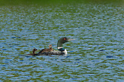 Common loon (Gavia immer) with chick on Cassels Lake<br />