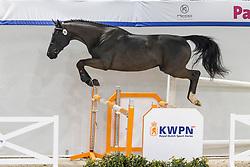 095, Newton<br /> KWPN Hengstenkeuring 2021<br /> © Hippo Foto - Dirk Caremans<br />  02/02/2021