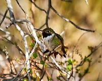 Broad-tailed Hummingbird. Zapata Falls, Alamosa County, Colorado. Image taken with a Nikon D300  camera and 80-400 mm VR lens