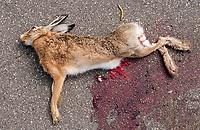 12.07.2015 wies Jazgarka woj mazowieckie n/z rozjechany przez samochod zajac szarak ( Lepus europaeus ) . Na terenach wiejskch dzikie zwierzeta czesto padaja ofiarami przejezdzajacych samochodow fot Michal Kosc / AGENCJA WSCHOD