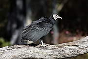 The American Black Vulture at the Center for Birds of Prey November 15, 2015 in Awendaw, SC.