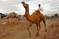 Man riding a camel at the Pushkar Fair camel market, India. Fine art photography prints for sale, stock images