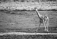 A reticulated giraffe caught in an awkward position while having a drink on Loisaba Conservancy, Kenya.