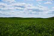 Green farm fields sit in contrast to blue skies and puffy white clouds in Eastern Washington.