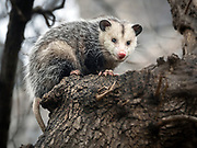 Virginia opossum in CP, Strawberry Field, NYC
