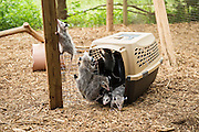 "Baby opossums are released into a larger outdoor facility to grow into ""teenagers"" before being released into the wild."
