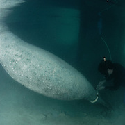 Renowned manatee scientist Jim Reid places a satellite tag on a pregnant manatee (Trichechus manatus latirostris) named Gina in the Bahamas