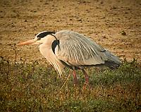Grey Heron. Bharatpur-- Keoladeo Ghana National Park, Rajasthan, India. Image taken with a Nikon 1 V3 camera and 70-300 mm VR lens.