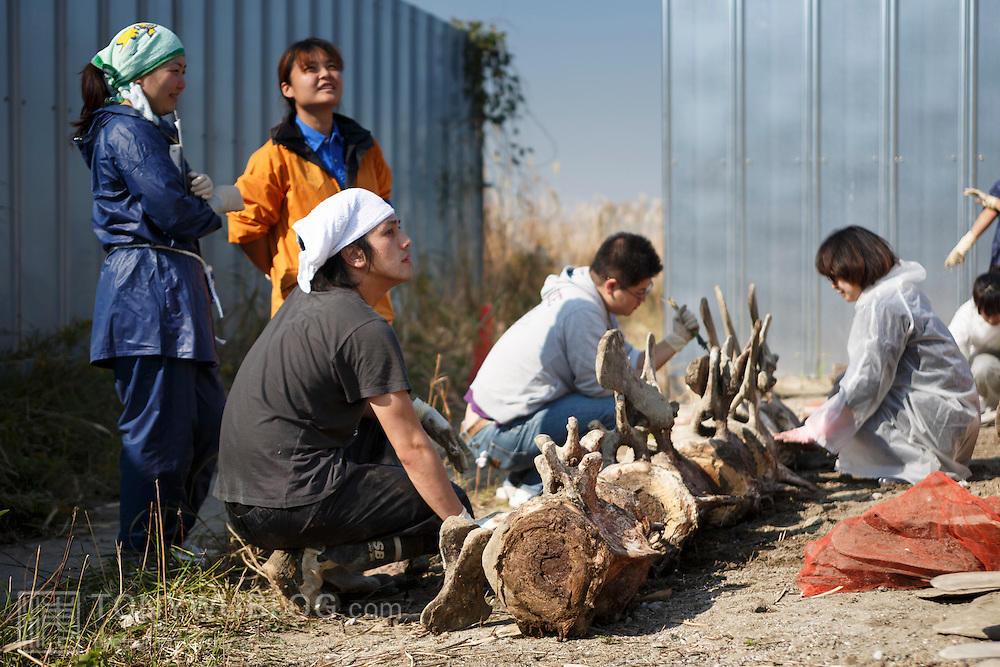 Scientists, students and volunteers engaged in cleaning the bones of an 18-meter long female fin whale (Balaenoptera physalus) that was found floating in Tokyo harbor in early 2012 and buried for about 16 months to facilitate decomposition. Even with the passage of so much time, there was still significant soft tissue and a power odor. Here, the vertebrae comprising the rear part of the whale are being cleaned.