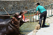 QINGDAO, CHINA - MAY 22: (CHINA OUT) <br /> <br /> Worker Clean Hippo's Teeth<br /> <br /> A worker cleans a hippo's teeth at Qingdao Forest Wildlife Park on May 22, 2014 in Qingdao, Shandong Province of China. Workers at the park clean hippos' teeth twice a week in summer.<br /> ©Exclusivepix