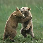 Alaska brown bear (Ursus middendorffi) young cubs playing. Alaska Peninsula