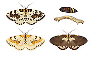 70.205 (1884)<br /> The Magpie - Abraxas grossularia<br /> top row = typical adult, pupa and larva<br /> bottom  row= abberant adult forms