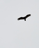 Turkey Vulture (Cathartes aura). Image taken with a Nikon Df camera and 70-200 mm f/4 VR lens.