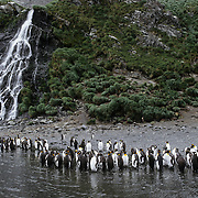 King Penguin (Aptenodytes p. patagonica) colony below a waterfall at Right Whale Bay on South Georgia Island.